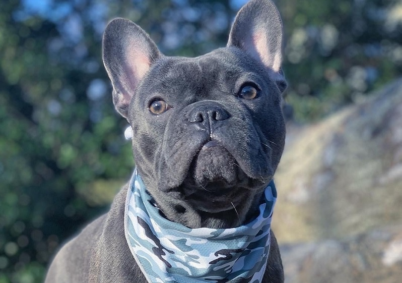 French bulldog activities and exercises: learn and keep him healthy