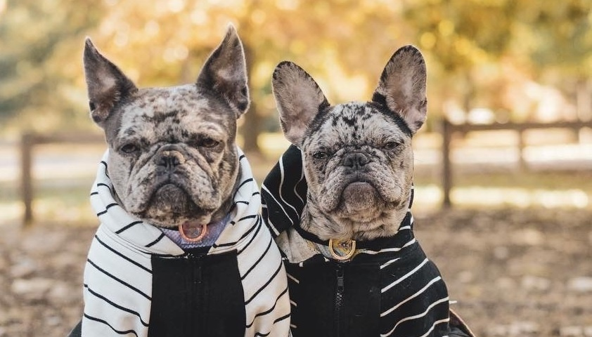 Apparel For Frenchie Dog: Myths And Facts