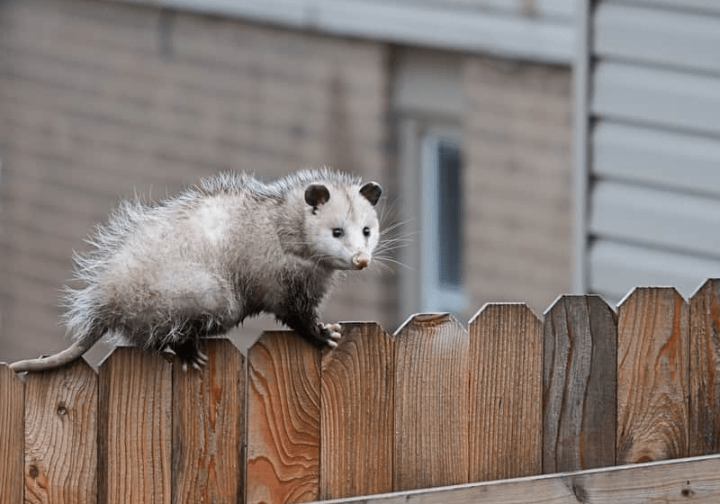 Opossums, Unwanted Guests At Home